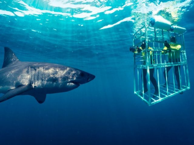 Great White Shark - Cage Diving