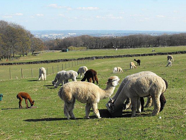 Mayfield Alpacas Animal Park